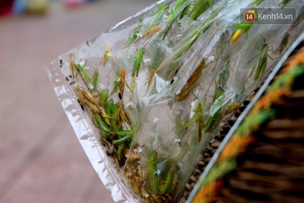 Châu chấu được để sẵn trong túi ni lông treo lên bán.