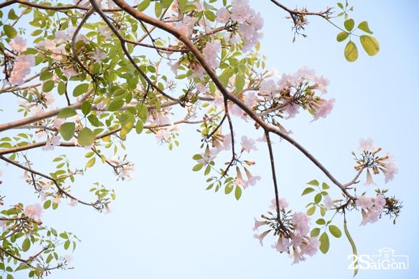 Một mùa hoa kèn hồng đắm say lòng người giữa Sài Gòn.