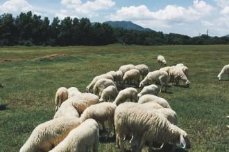 Đồng cừu ngút ngàn như trời Âu ngay gần Sài Gòn 6