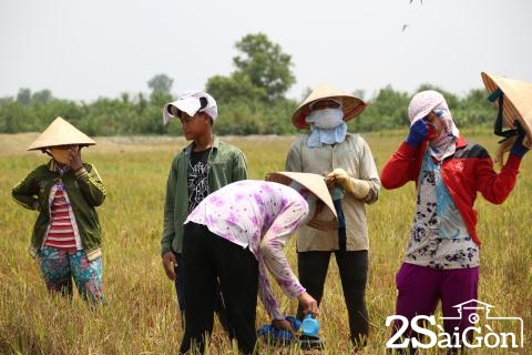 Đi Sài Gòn gặt lúa mướn 12