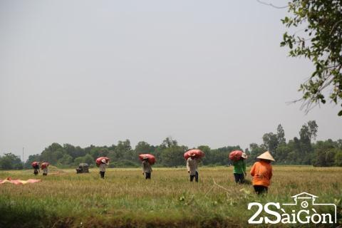 Đi Sài Gòn gặt lúa mướn 15