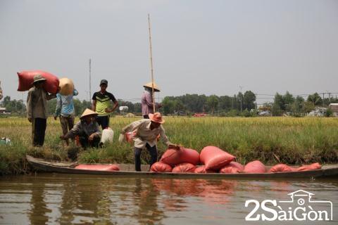 Đi Sài Gòn gặt lúa mướn 16