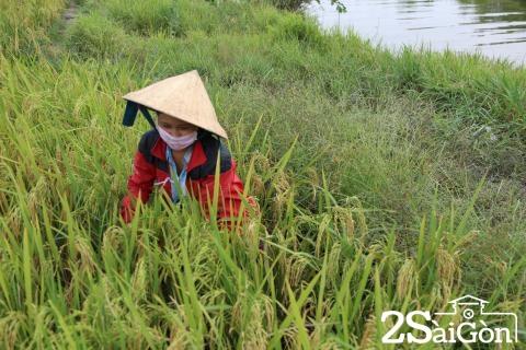 Đi Sài Gòn gặt lúa mướn 2