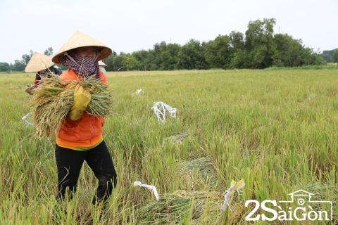 Đi Sài Gòn gặt lúa mướn 5