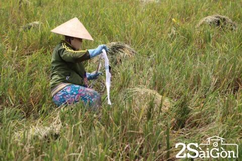 Đi Sài Gòn gặt lúa mướn 6