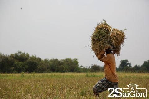 Đi Sài Gòn gặt lúa mướn 7
