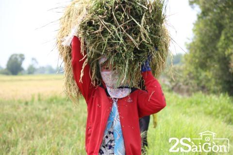 Đi Sài Gòn gặt lúa mướn 8