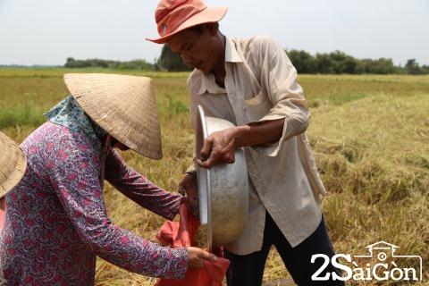 Đi Sài Gòn gặt lúa mướn 9