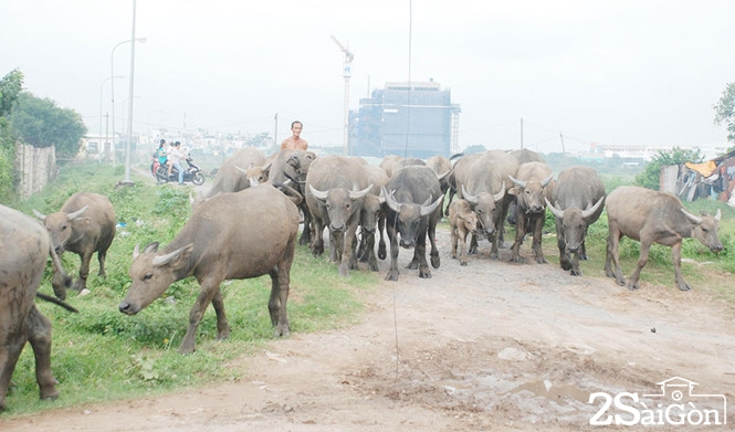 Giữa trung tâm Sài Gòn: Đi chăn trâu, chăn bò kiếm... tiền tỉ 1
