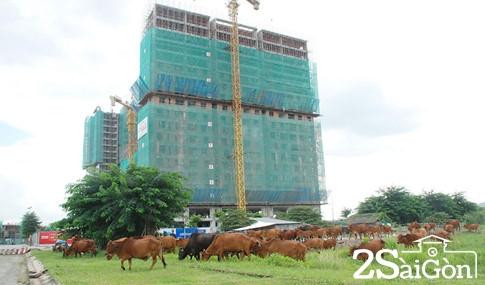 Giữa trung tâm Sài Gòn: Đi chăn trâu, chăn bò kiếm... tiền tỉ 2