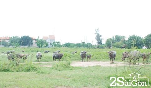 Giữa trung tâm Sài Gòn: Đi chăn trâu, chăn bò kiếm... tiền tỉ 3