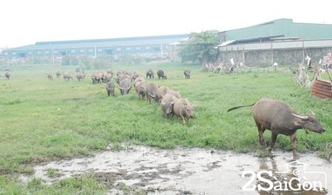 Giữa trung tâm Sài Gòn: Đi chăn trâu, chăn bò kiếm... tiền tỉ 5