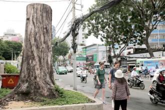 Nhiều cổ thụ ở Sài Gòn chết bất thường 2