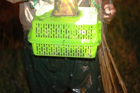 """Mỗi đêm số cá thu hoạch được sẽ từ vài kg đến khoảng 10 kg. Cá trê và cá rô thường cắn câu nhiều hơn. """"Cá trê với cá rô nhiều chứ cá lóc ít lắm. Cá trê bán chừng 40.000 đồng/1kg ; cá lóc 100.000 đồng/kg ẢNH: TRÁC RIN"""