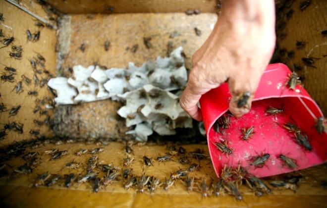 Còn dế được các chủ nuôi ở Củ Chi, Tây Ninh… mang đến đây được bán với giá 5.000 đồng một bịch.
