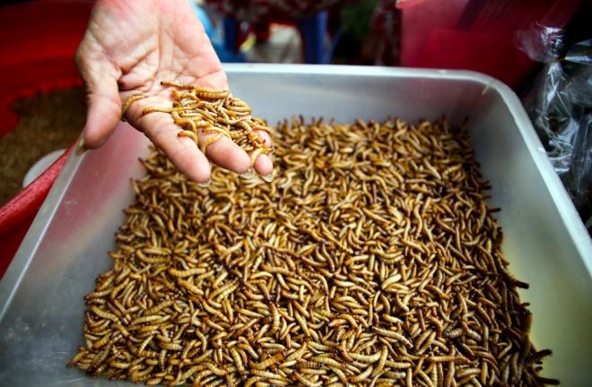 Những loài sâu quy, sâu gạo… vừa cho chim và cá cảnh ăn, được bán theo lon. Khách muốn mua sâu khô cũng có, lâu lâu còn có cả bò cạp.