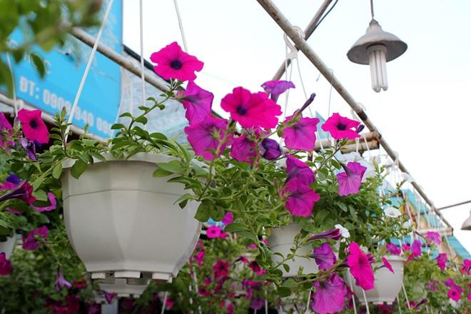 Dạ yến thảo, loại hoa treo được nhiều người chọn mua ở thời điểm này chỉ có giá từ 30.000 - 50.000 đồng/chậu. Nhưng theo các chủ vựa, loại này đến Tết sẽ có giá hơn 60.000 đồng/chậu.