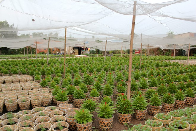 Những cánh đồng hoa trên đường Lê Thị Riêng, quận 12, nơi được mệnh danh là vựa hoa của TP.HCM, cũng bắt đầu hé nụ. Nhiều khách đã đến tận vườn để đặt cọc mua hoa sớm, với mong muốn chọn được loại hoa ưng ý.