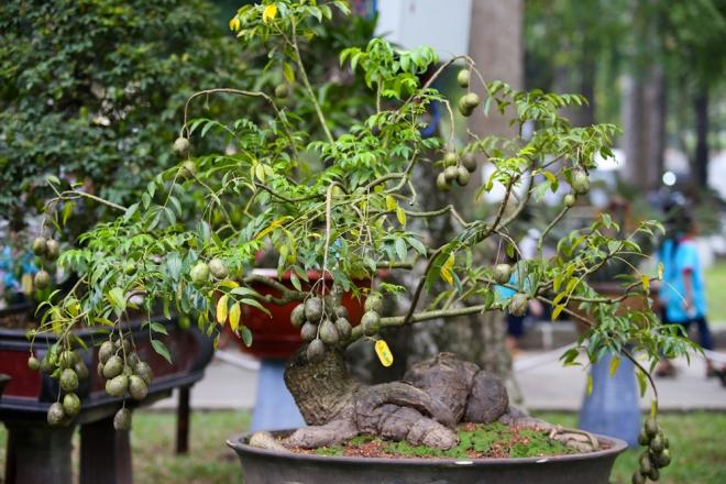Nhiều loài cây thường gặp như cóc, lêkima... cũng được làm thành cây kiểng độc đáo mang ra trưng bày.
