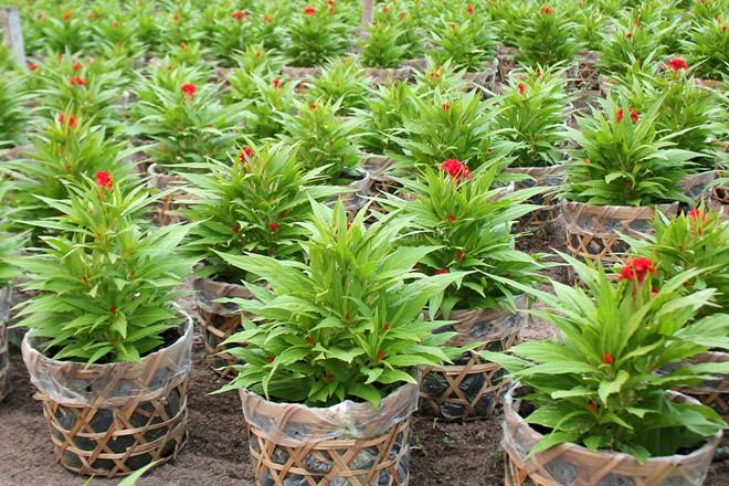 Mào gà là loại hoa được các vựa lựa chọn trồng nhiều ở đây, vì giá thấp, dễ bán, hoa lại tươi lâu, trung bình mỗi nhà có từ 2.000 - 3.000 chậu hoa này để bán Tết.