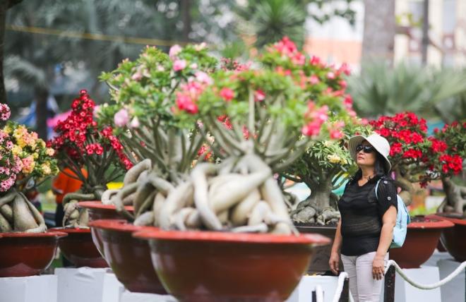 Năm nay, Hội hoa xuân trưng bày 4.000 hiện vật thuộc các bộ môn: hoa mai, hoa sứ, hoa lan, kiểng cổ - bonsai, non bộ - tiểu cảnh, xương rồng... từ những nghệ nhân tên tuổi khắp nước. Trong ảnh là những chậu hoa sứ nhiều màu lộng lẫy của nghệ nhân tỉnh Bình Dương.