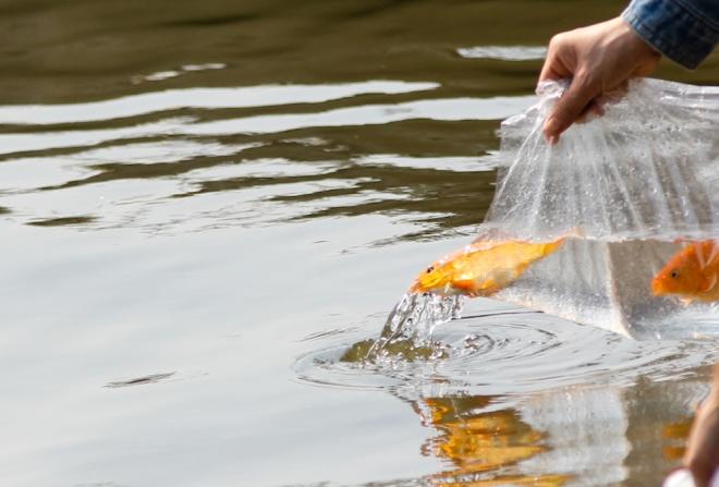 """Cá được thả là loài cá chép đỏ vì theo quan niệm dân gian, giống này là """"phương tiện đi lại chính"""" của ông Táo trong ngày 23 tháng Chạp."""