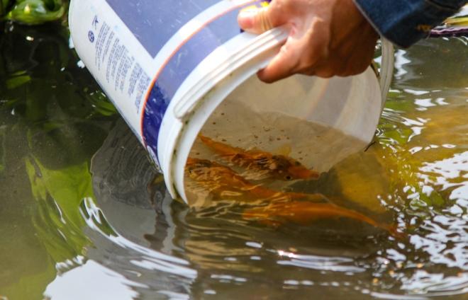 Những người thả cá chép đều nhẹ nhàng nhúng xô nước xuống sông cho cá tự bơi ra. Hầu hết, mọi người đều thả ít nhất 3 con cá chép tượng trưng cho 3 ông bà Táo quân.