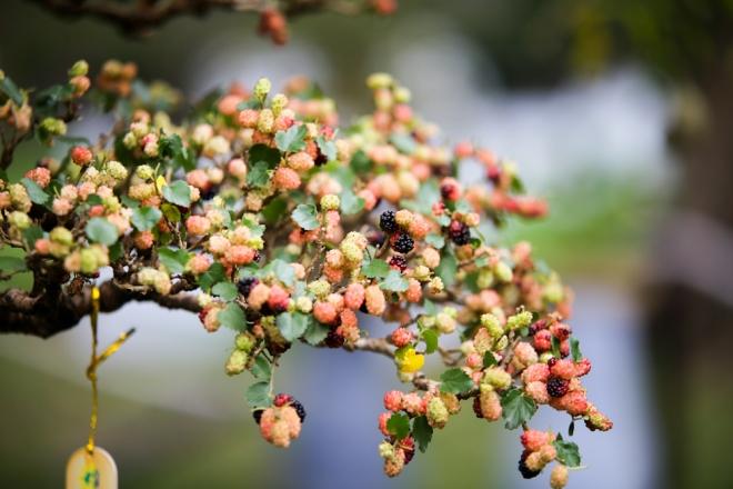 Những quả dâu chín mọng, nhiều màu sắc. Cây dâu này được chủ nhân định giá 70 triệu đồng.