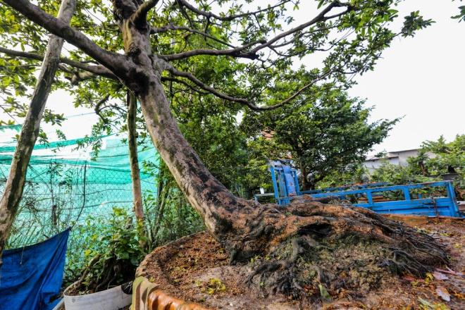 """Cây mai này có thế """"siêu phong"""", bề ngang tán cây dài 6 m, cao 7 m với bộ rễ độc đáo. Cây này được chủ nhân bán giá tại vườn là 800 triệu đồng."""