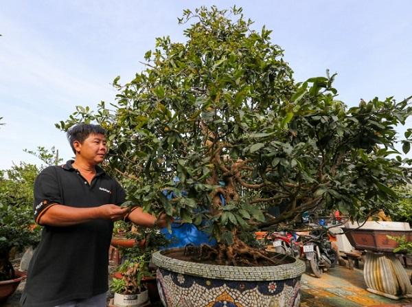 Dịp Tết Nguyên đán năm 2017, tại vườn mai của anh Nguyễn Nhật Khánh (42 tuổi, quận Thủ Đức) đang có những cây mai giá từ vào chục triệu đến cả tỷ đồng. Trong ảnh là cây mai vàng 5 cánh khoảng 80 tuổi đang được chăm sóc.