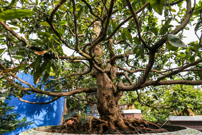 """Cây mai này được anh Khánh """"săn"""" được từ một nông dân ở Vĩnh Long cách đây 4 năm. Cây cao 3 m, mang thế """"trực"""", các cành xum xuê, mọc sát gốc tỏa rộng ra."""