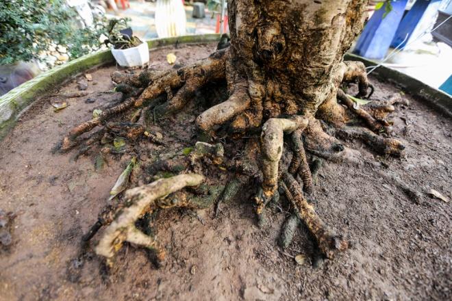 """""""Giá trị của cây mai cổ thụ nằm ở bộ gốc. Gốc cây càng to, rễ ngoằn ngoèo, nổi sần sùi thì càng giá trị. Bên cạnh đó, thế của cây cũng quyết định nhiều đến giá cả. Cây này có giá khoảng một tỷ đồng"""", anh Khánh cho hay."""