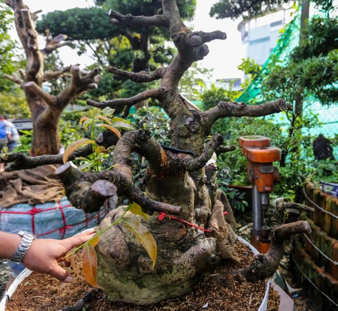 Cây mai có hình thù tựa như con ốc sên đang bò. Đây đang là cây nguyên liệu nên chưa kịp ra hoa cho Tết năm nay, có giá khoảng 100 triệu.