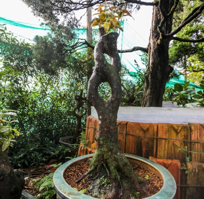 Một cây khác có phần thân giống hình số tám cũng đang được được chủ nhân tỉa, ghép...