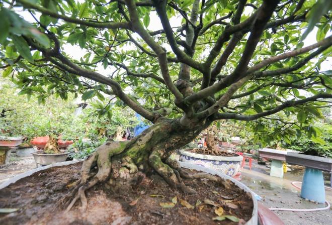 Một cây khác được nghệ nhân tạo phần thân, gốc cho ra dáng một con thú. Cây này là mai ghép với gốc có tuổi đời 40 năm, được bán giá 120 triệu.