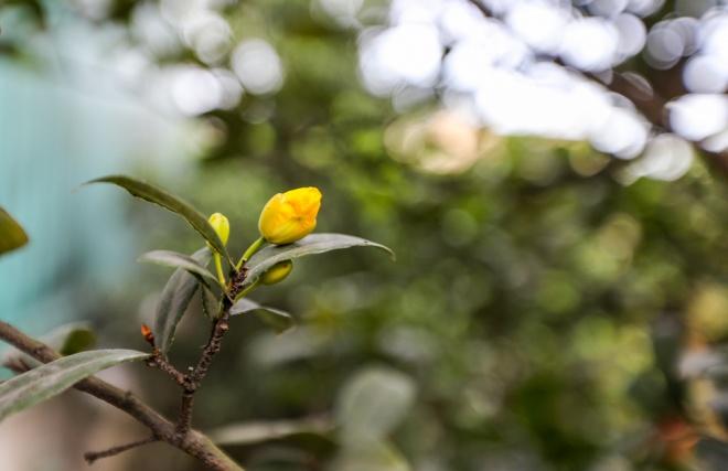 Gần một tháng trước Tết, các chủ vườn vẫn chưa lặt lá để hoa nở đúng thời điểm. Hiện tại, các chậu mai đã được chủ vườn vận chuyển ra chợ hoa, các con đường Phạm Văn Đồng, Kha Vạn ân, quốc lộ 13 để bày bán.