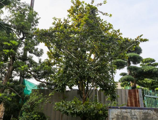 Ngoài ra, anh Khánh còn tạo được hình cây mai hình ngôi sao năm cánh. Cây này 15 năm tuổi, cao 4 m có giá khoảng 200 triệu.