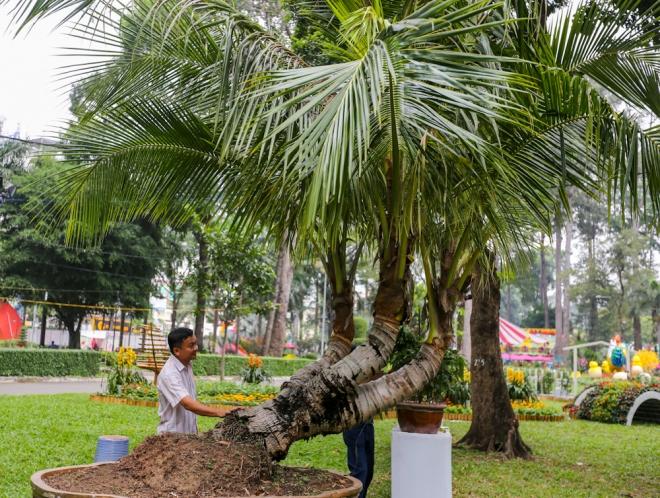 Cùng với các cây mai vàng cổ thụ ở khu vực trưng bày, Hội hoa xuân Tao Đàn năm nay có một số cây trái độc, lạ như cây dừa ba ngọn có xuất xứ từ Định An (Trà Vinh).