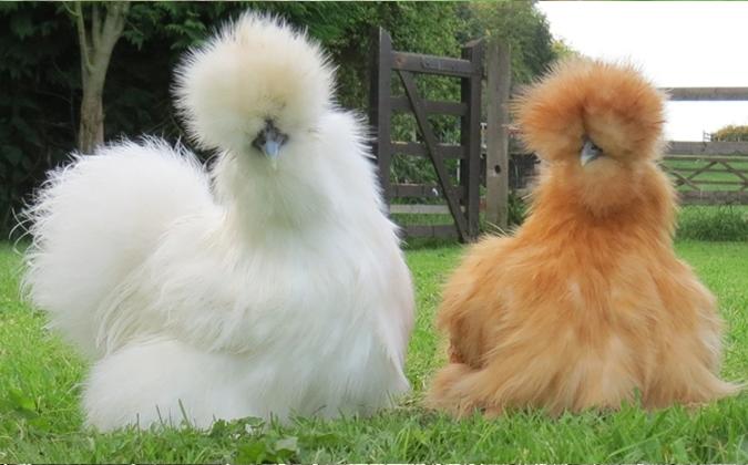 Những chú gà như chú chó xù với nhiều màu sắc khác nhau rất thích hợp đẻ nuôi làm cảnh. Ảnh: Vua gà.