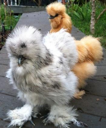 Gà lai chó tuyệt đẹp có giá từ 2-10 triệu đồng/con, tùy theo kích thước, độ tuổi. Ảnh: Vua gà.