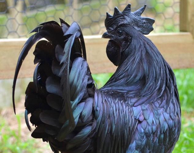 Gà mặt quỷ Indonesia có tên gọi Ayam Cemani cực kỳ quý hiếm và đắt đỏ. Ngay khi vừa mới du nhập vào Việt Nam, giống gà này đã nổi như cồn. Mặc dù có giá siêu đắt lên đến 2.500 USD/kg nhưng nói vẫn rất hút hàng. Ảnh: Viralforest.