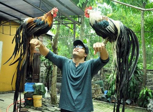 Riêng cặp gà đuôi siêu dài này được trả giá lên đến 65 triệu đồng. Đây là giống gà có nguồn gốc từ Nhật Bản. Giống gà này nổi bật với cái đuôi rất dài, mọc trong suốt cuộc đời. Con trưởng thành bộ đuôi có thể dài từ 6 - 7m. Ảnh: Dân Việt.