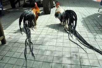 Sắp đến Tết Đinh Dậu, là năm con gà nên nhiều giống gà lạ giá đắt đỏ vẫn được giới mê gà cảnh săn mua nhiều. Trong số đó phải kể đến giống gà đuôi siêu dài. Giống gà đuôi siêu dài có tên khoa học là gà Onagadori từng gây sốt ở thị trường Việt Nam. Ảnh: Dân Việt.