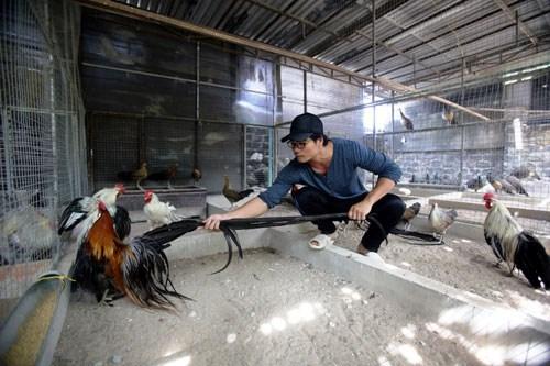 Hiện tại giống gà này đang được anh Phan Minh Hồng, chủ trại gà ở thị xã Dĩ An, Bình Dương nuôi và nhân giống. Từng chia sẻ trên báo chí, anh Hồng cho biết, giá gà này thường dao động từ 2-3 triệu đồng/ con 1 tháng tuổi. Ảnh: Dân Việt.