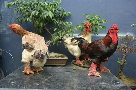 """Từ xưa đến nay, giống gà Đông Tảo vẫn rất hút các """"đại gia"""" săn mua vào dịp Tết đến xuân về. Ảnh: Pháp luật TPHCM"""