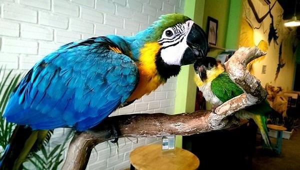 Loại vẹt này còn được biết dưới tên gọi vẹt đuôi dài, sinh sống chủ yếu ở rừng ngập nước ngọt và rừng khu vực nhiệt đới Nam Mỹ. Ảnh: Internet.