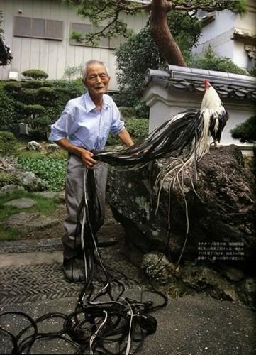 Bộ lông đuôi dài thướt tha tạo nên sự duyên dáng cho những con gà Onagadori. Ảnh: Internet.