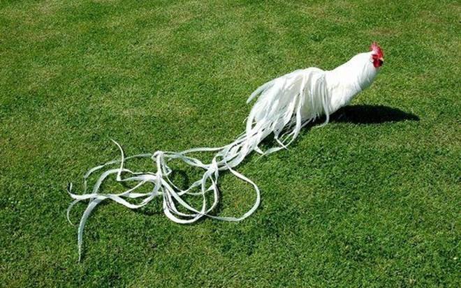 Trang: 11/13 Giống gà Onagadori đạt độ dài đuôi tối đa lên đến 7m có giá từ hàng triệu đến vài chục triệu đồng/con đang được nhiều người săn lùng chơi Tết Đinh Dậu 2017. Ảnh: Internet.