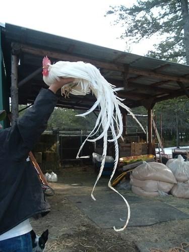 Onagadori là giống gà đuôi dài đặc biệt của Nhật Bản với bộ lông đuôi thướt tha mọc dài liên tục trong suốt cuộc đời, đạt đến trên 7 mét. Đây cũng là giống được người chơi ở Việt Nam chú ý, bởi vẻ đẹp thanh tao, giá khoảng 65 triệu đồng một cặp. Ảnh: Internet.