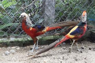 Chim trĩ 7 màu: Đây được xem là loài chim cảnh quý tộc mang lại tài lộc, may mắn nên nhiều đại gia Việt không tiếc tiền chi gần hàng chục triệu đồng mua về chơi. Với những con chim trĩ 7-9 màu, dù giá lên đến cả nghìn đô song không phải ai có tiền cũng may mắn sở hữu được. Ảnh: Dân Việt.